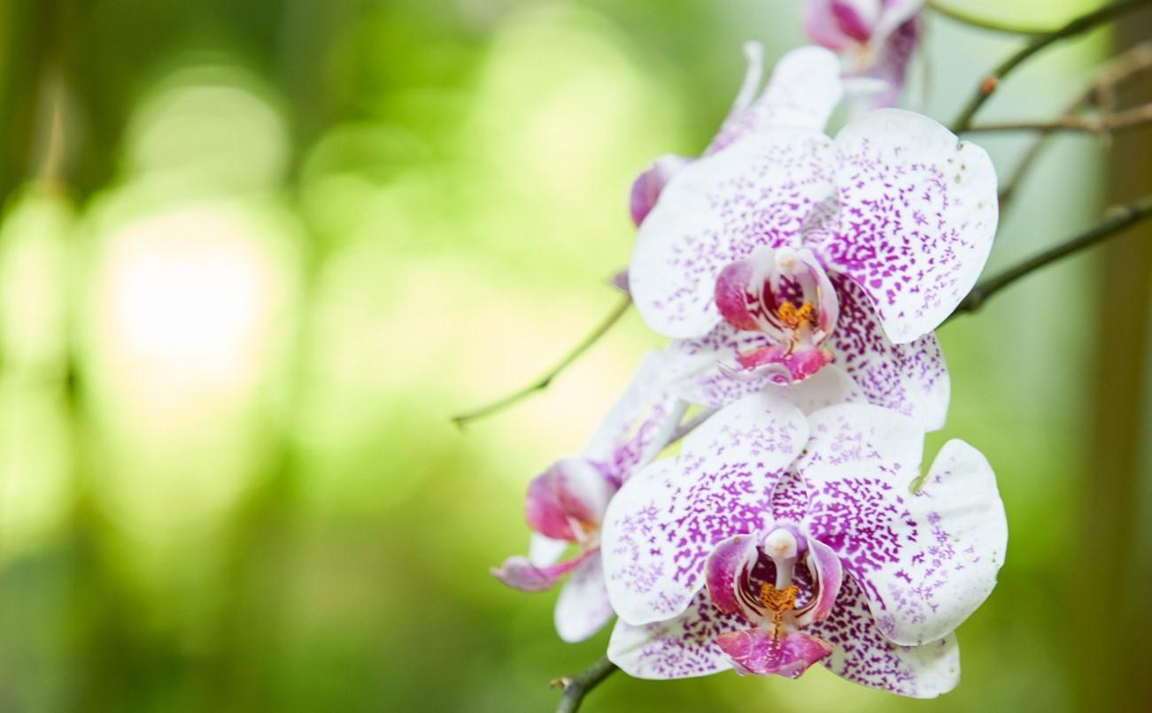 Akatsuka Orchid