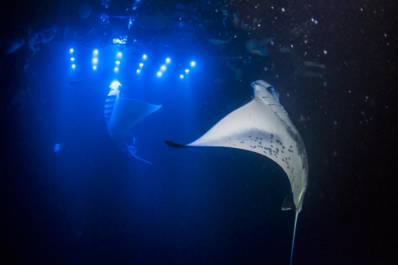 Manta Ray Night Snorkelling Hawaii