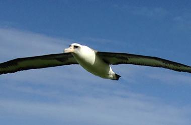 Albatross in Princeville