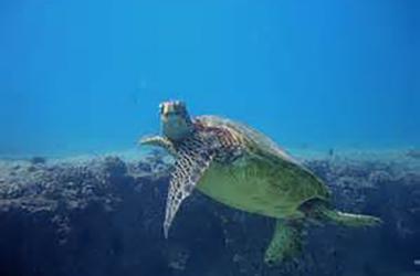 Sea Turtle Serenade