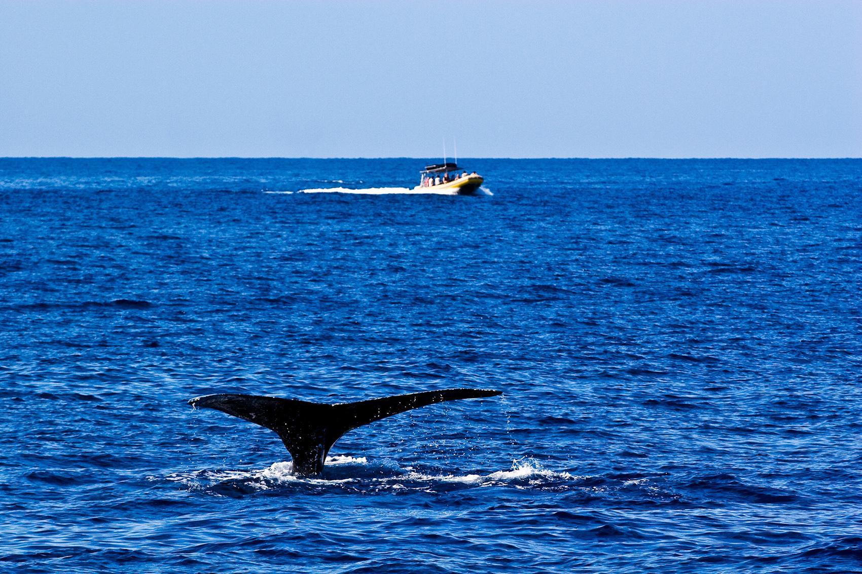 Best Whale Watching Tour Big Island Hawaii