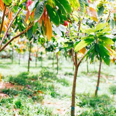Chocolate Farm & Botanical Tour