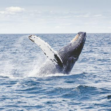 Whale breaches on an Whales and You tour