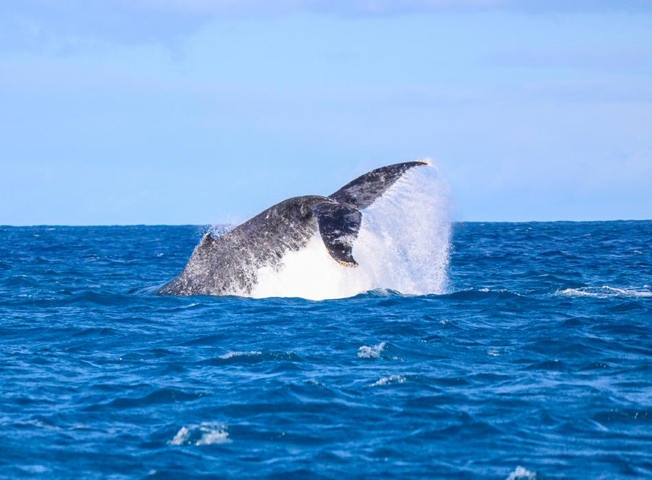 Northern Pacific Humpback Whale