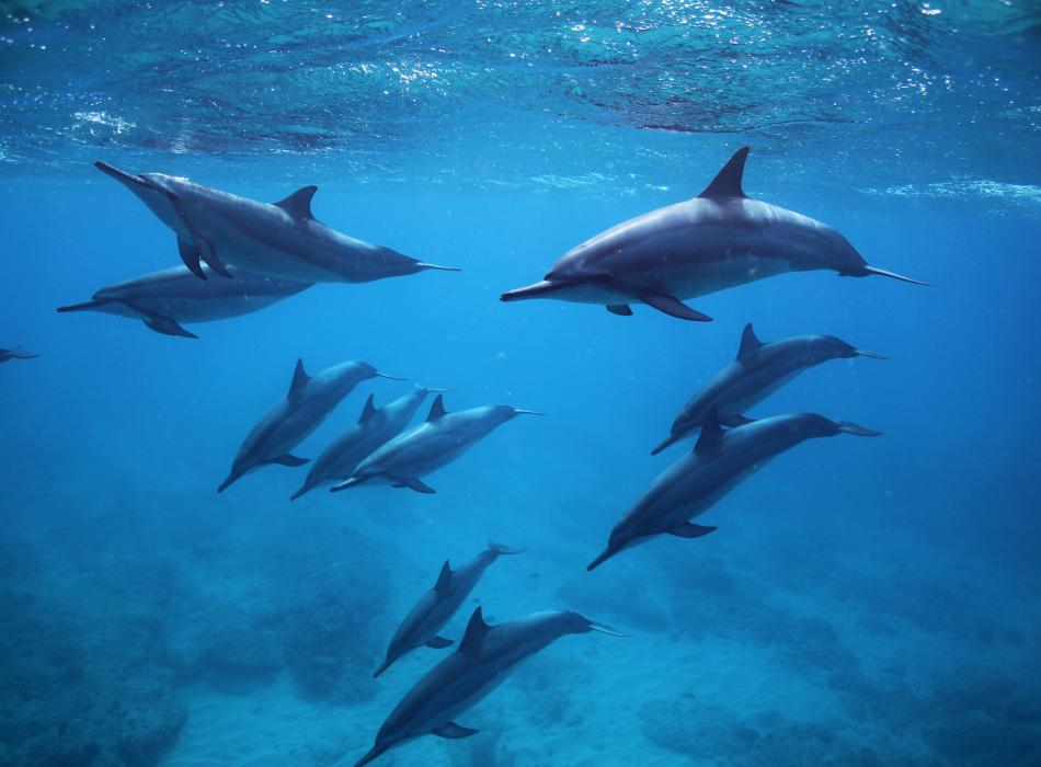 Join Dolphins and You and explore the west side of Oahu and swim with wild dolphins