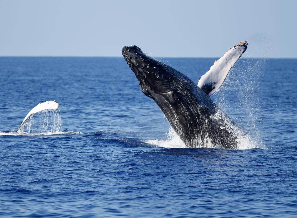 Catch a glimpse of a humpback whale during whale season