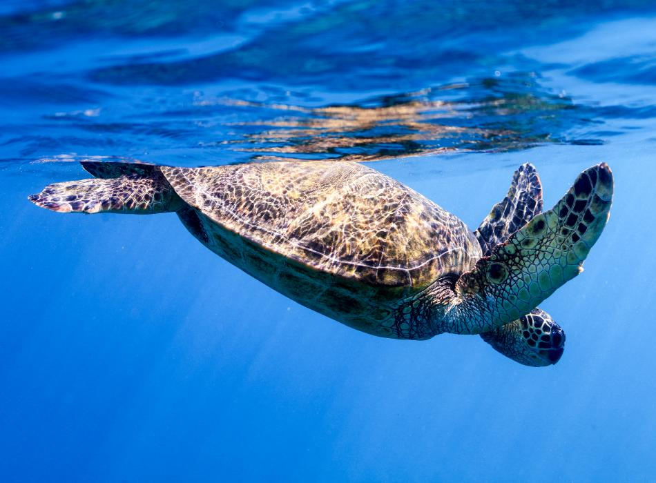 Swim with more than dolphins, we often encounter Honu on our Dolphins and You tours