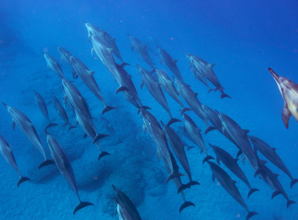 Enjoy the crystal clear waters of Oahu while you swim with dolphins