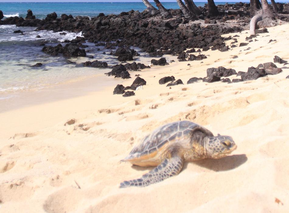 See sunbathing sea turtles in the North Shore of Oahu