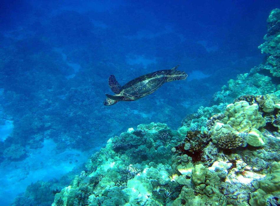 Mauna Lani - Turtle Pic