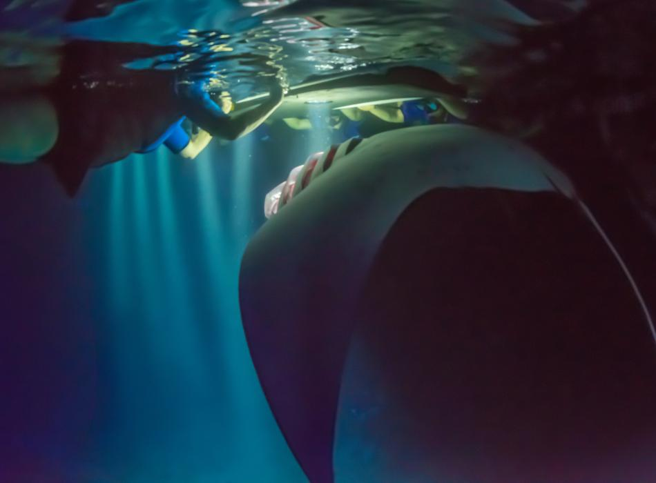 Night Manta Snorkeling