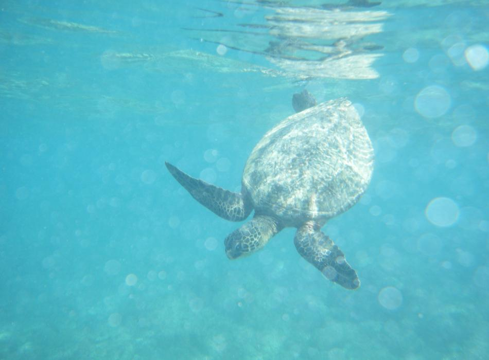 Hawaiian Green Sea Turtles are abundant in these waters