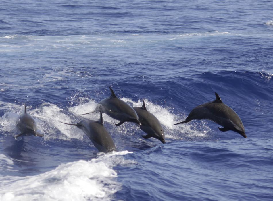 Pantropical spotted dolphins