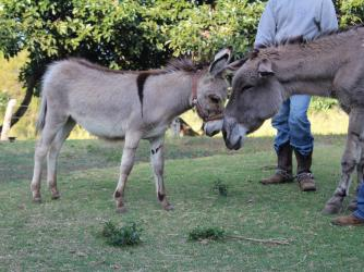 Kona Coffee Living History Farm's new baby donkey Mele