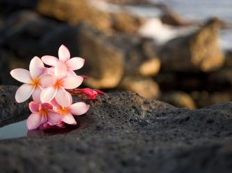Plumeria on a Rock